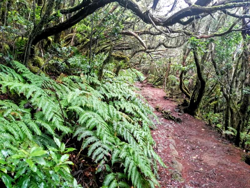 El Bosque Encantado de Anaga | Laurisilva