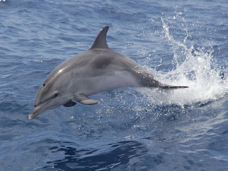 Avistamiento de cetáceos | Tenerife Sur | Delfín