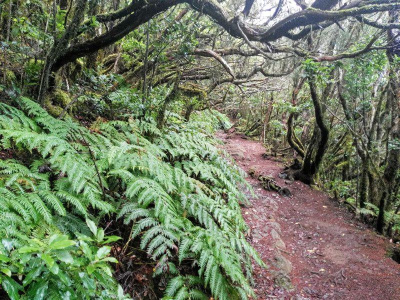 Helechos en el sendero | El Bosque Encantado de Anaga | Tenerife