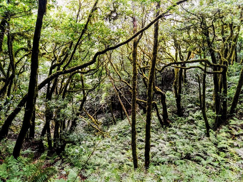 Laurisilva en El Bosque Encantado de Anaga