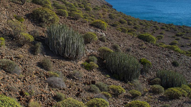 Punta de Abona | Tenerife | Tabaibas y Cardones