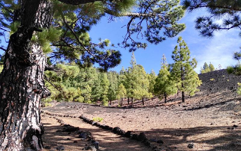 Vuelta al Chinyero | Tenerife | Bosque de pinos canarios
