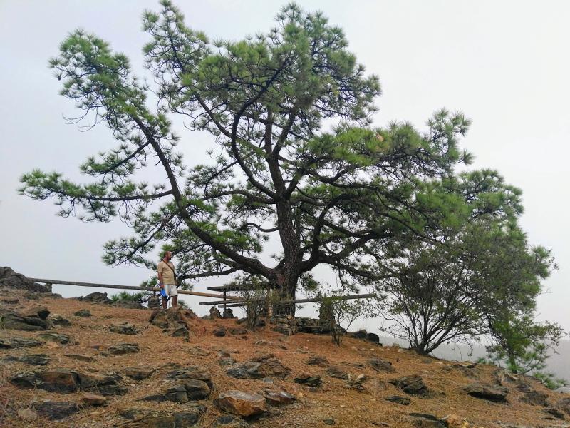 Vilaflor | Camino del Pino Enano