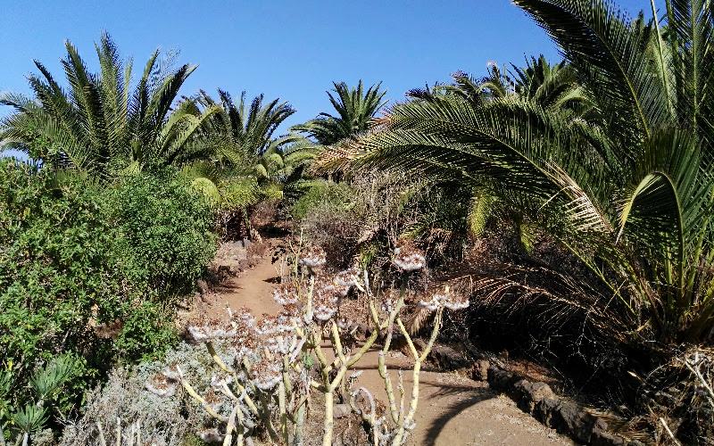 Rambla de Castro   Los Realejos   Tenerife Norte   Vegetación