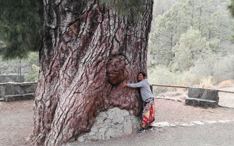 Vilaflor | Pino Gordo | El árbol más ancho de España