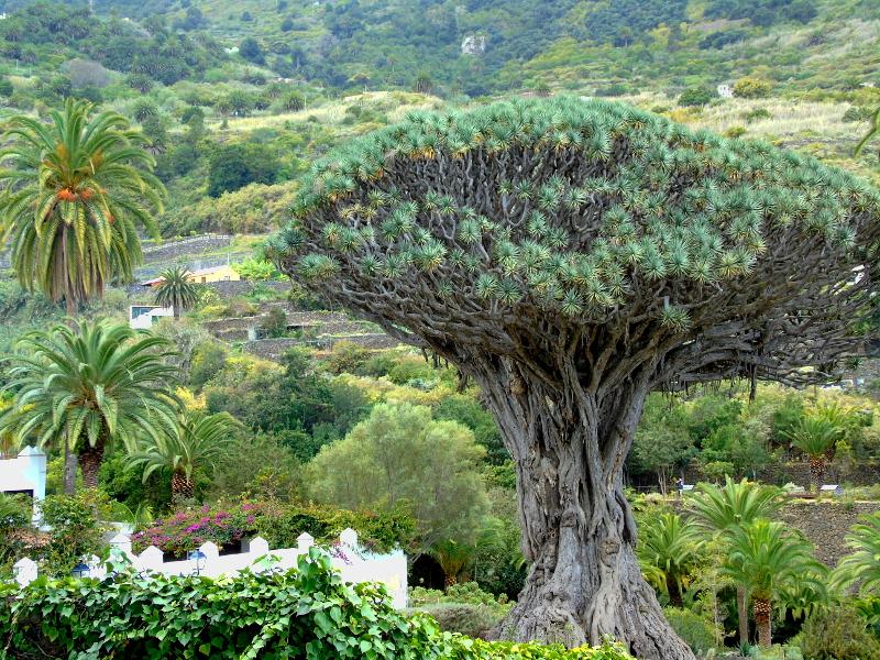 Drago Milenario en Icod de los Vinos, Tenerife