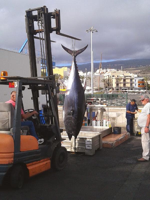 Puerto de Playa de San Juan | Tenerife | Desembarco de atún rojo