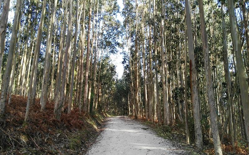 Fuciño do Porco | Bosque de eucaliptos