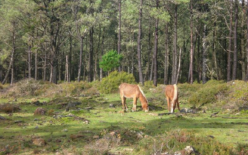 Sierra de A Capelada | Caballos salvajes