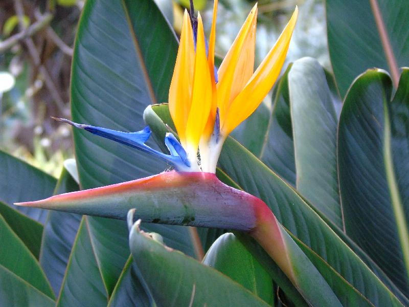 Esterlicia en el Jardín Botánico | Puerto de la Cruz | Tenerife