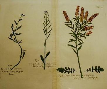 Grabado de botánica del siglo XVII