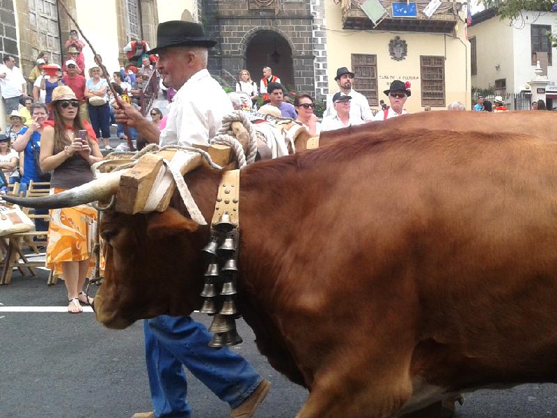 Romería de San Isidro Labrador | La Orotava | Bueyes