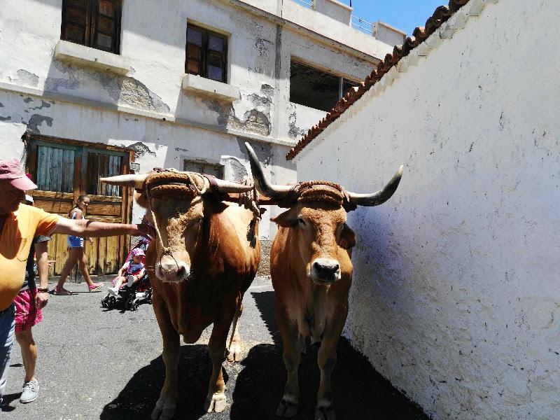 Día de las Tradiciones | Chirche | Guía de Isora | Tenerife | Bueyes de labranza