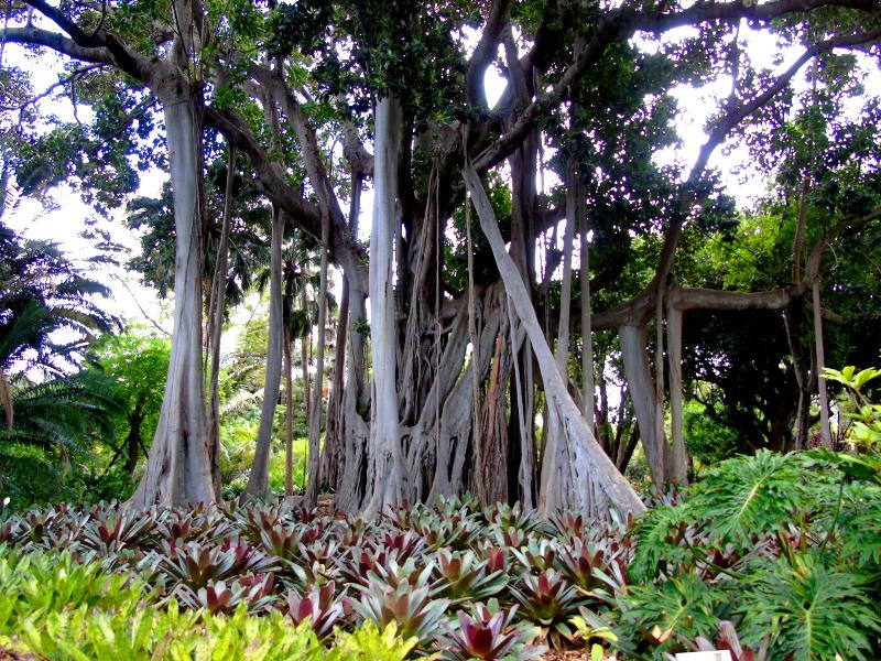 Jardín Botánico | Puerto de la Cruz | Tenerife | Islas Canarias | Árbol