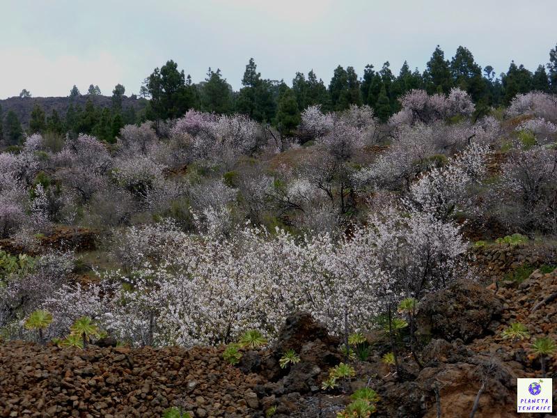 Almendros en flor Tenerife