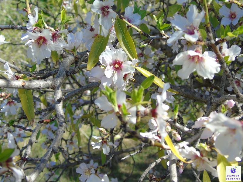 Almendros en flor de Santiago del Teide